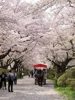 まつり期間中の毎日、約30分間隔で桜並木の下を観光馬車が走ります。