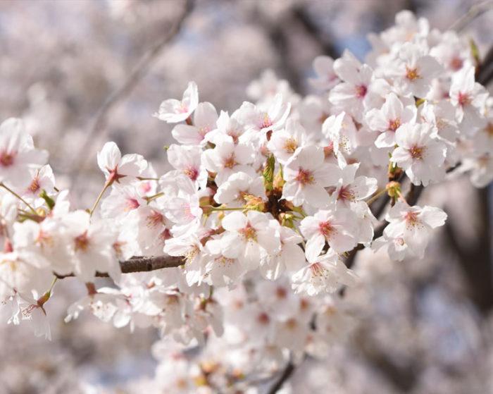 第5回えづりこすず桜まつり