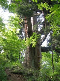 仙人峠の姥杉