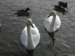 大堤公園・新堤(白鳥飛来地)