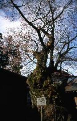 鳥谷脇(とやのわき)の桜