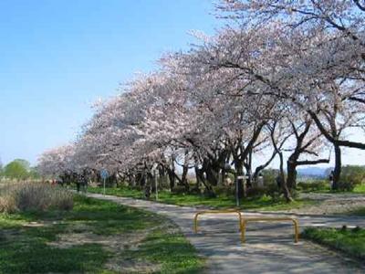 展勝地の桜2