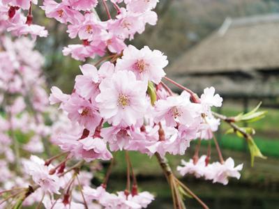みちのく民俗村の桜